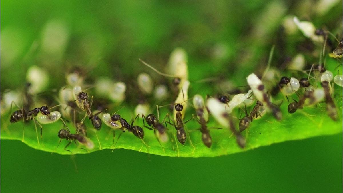 Svårt att tro, men alla myror är inte så arbetssamma som dessa. Foto: AP Photo/Gurinder Osan