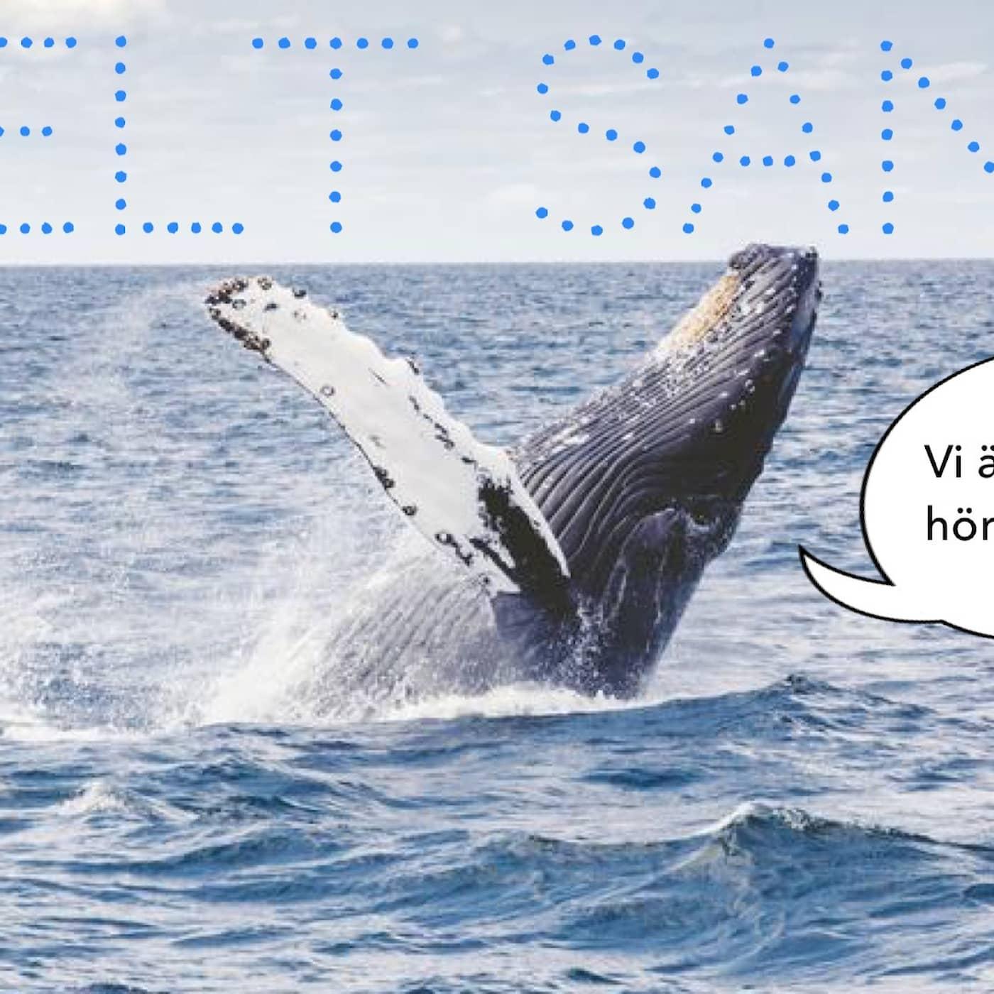 Störiga ljud och lättstötta blåvalar!