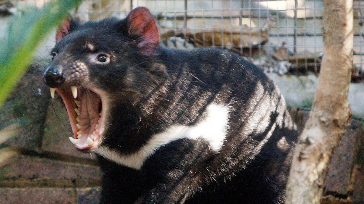 De här är en Tasmansk pungdjävul och den bajsar vitt bajs för att den äter mycket ben.