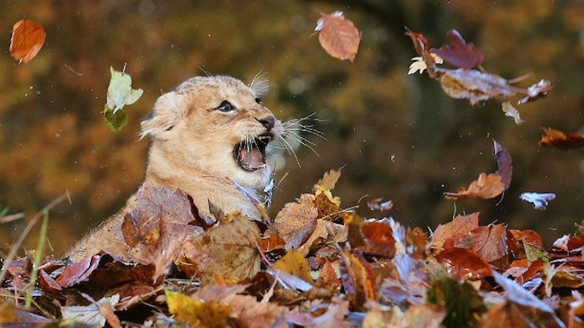 Lejon leker med höstlöv