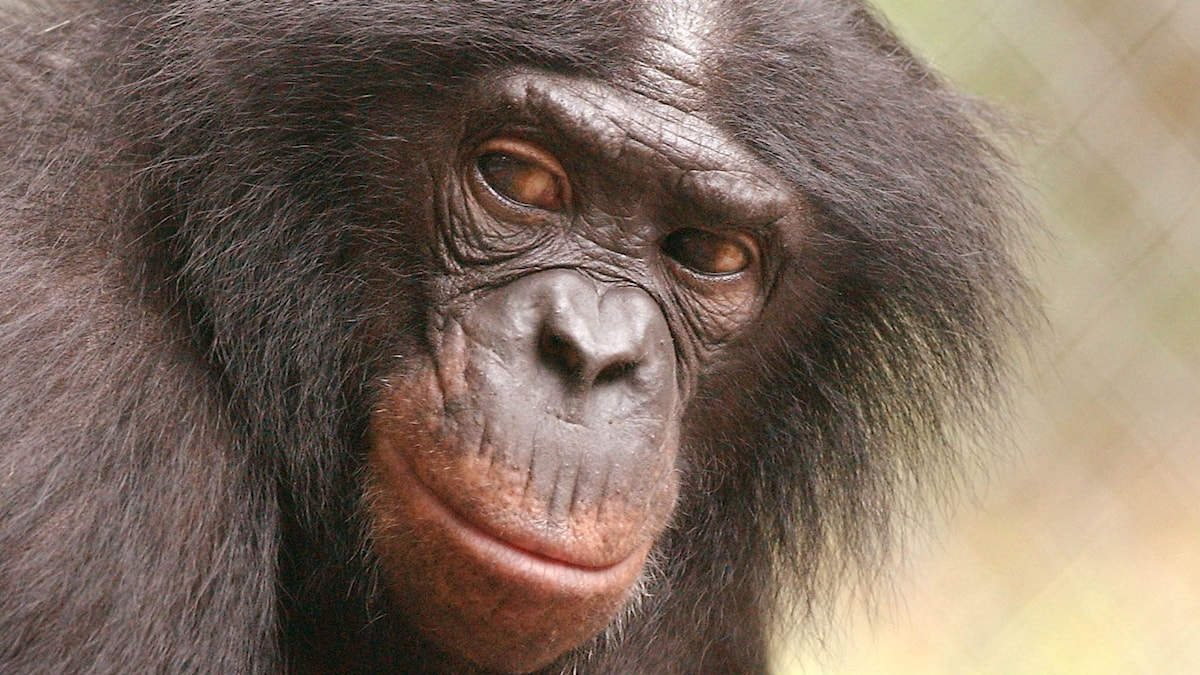 Panbanisha, den dvärgschimpans som improviserade tillsammans med Peter Gabriel. Hon dog 2012. Foto: TT Bild