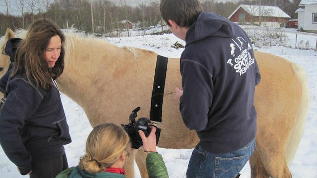 Hästforskning pågår. EKG- och pulsmätning genom pälsen. Foto: Göteborgs universitet