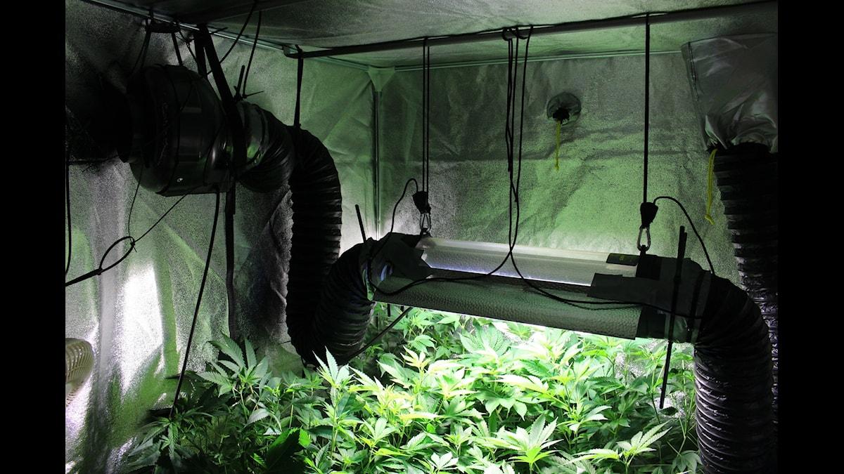 Cannabis gror mitt i Malmö