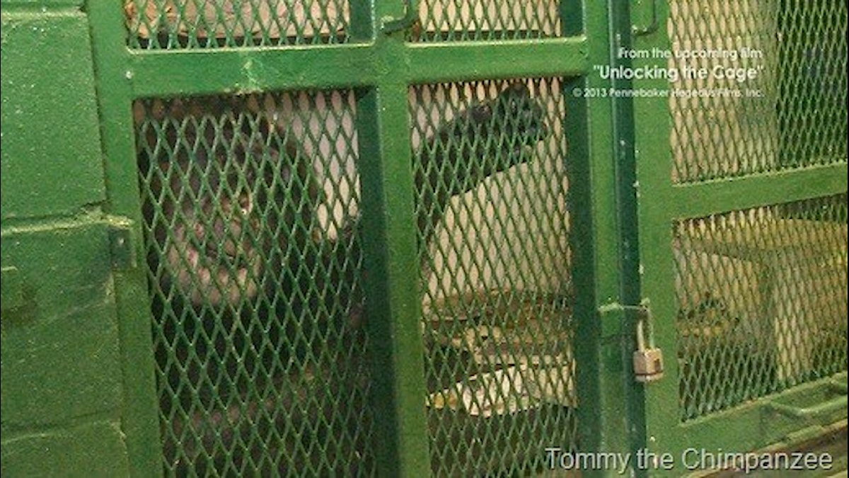 Schimpansen Tommy