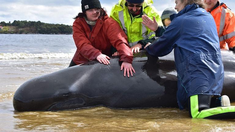 Människor försöker rädda en av många valar  som strandat i Tasmanien utanför Australien.