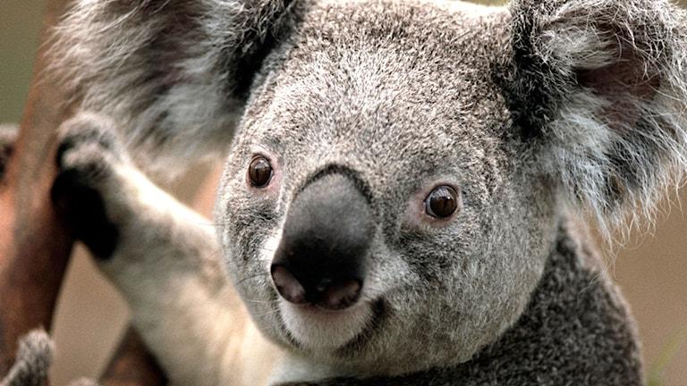 En koala i ett träd. Foto: Albagloria5/Flickr/http://bit.ly/1sYBHyq/ CC BY 2.0