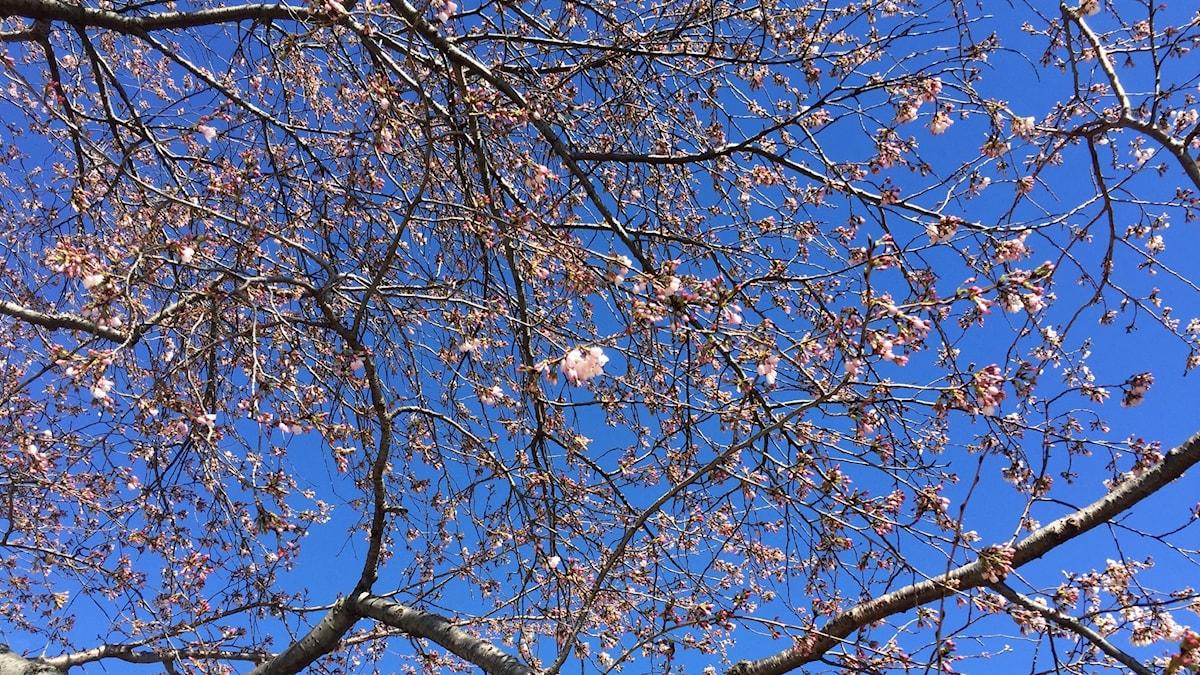 Körsbärsblom mot blå himmel