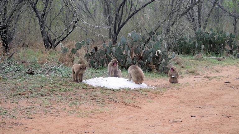 Shimabuku: the snow monkeys of texas