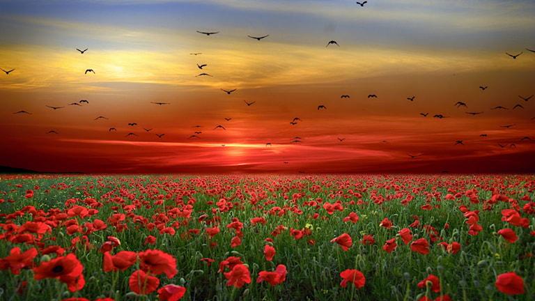 Landskap med vallmofält i solnedgång och fåglar i himlen.