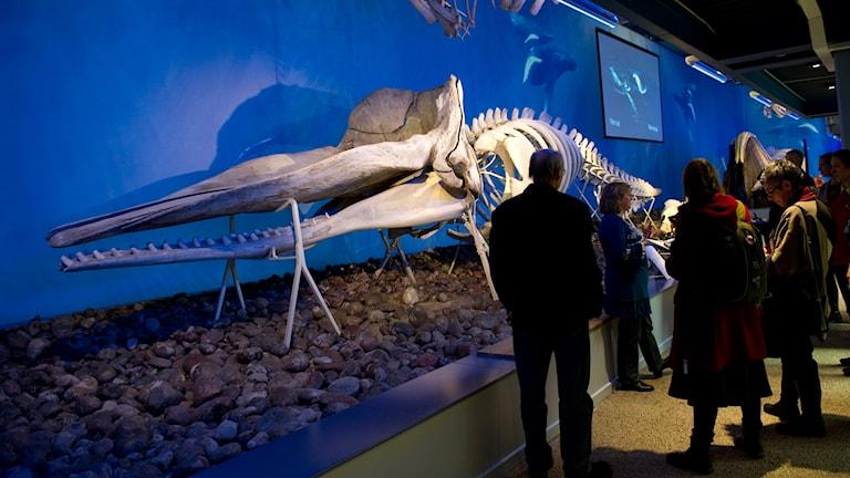 Ett valskelett på Naturhistoriska riksmuseets polarutställning för några år sedan. Foto: Fredrik Sandberg/TT