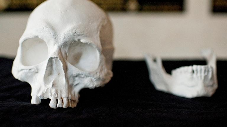 En gipsavgjutning av Karl Knutssons Bondes kranium från hans grav i Riddarholmskyrkan som öppnats i sökandet efter Magnus Ladulås.
