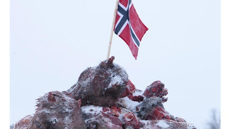 Pile o Sápmi – 200 blodiga renhuvuden, Máret Anne Saras installation utanför Tana tingsrätt