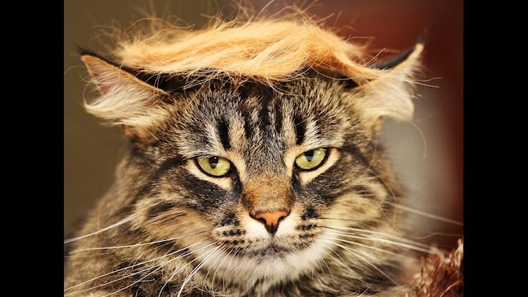 Bilden föreställer en katt med Trumpliknande hår