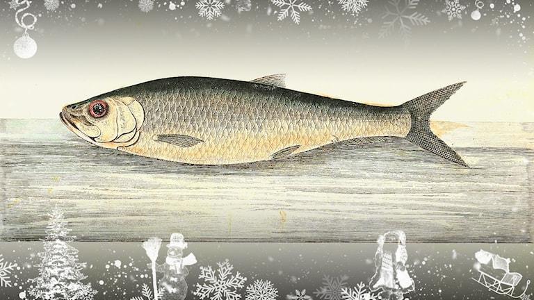 En melankolisk fisk, sillen.