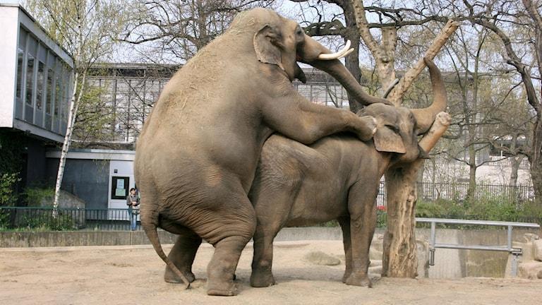 Två elefanter bonkar på varandra. Den elefanten som har den bakre positionen ser orimligt glad ut.