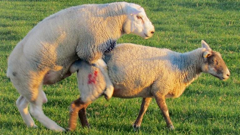 Två får spänner på varandra. Dom står på grönt gräs.
