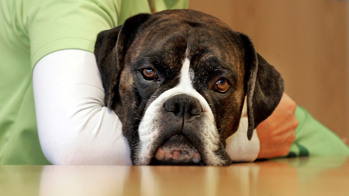 En boxerhund.