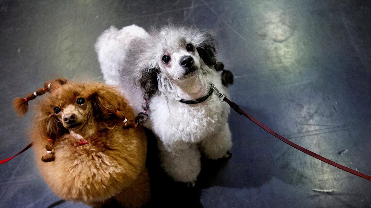 Hundar på hundmässa. Foto: Frida Winter/TT.