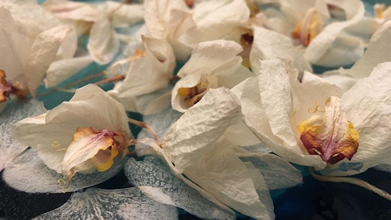 Kuihtuneita valkoisia kukkia veden pinnalla.