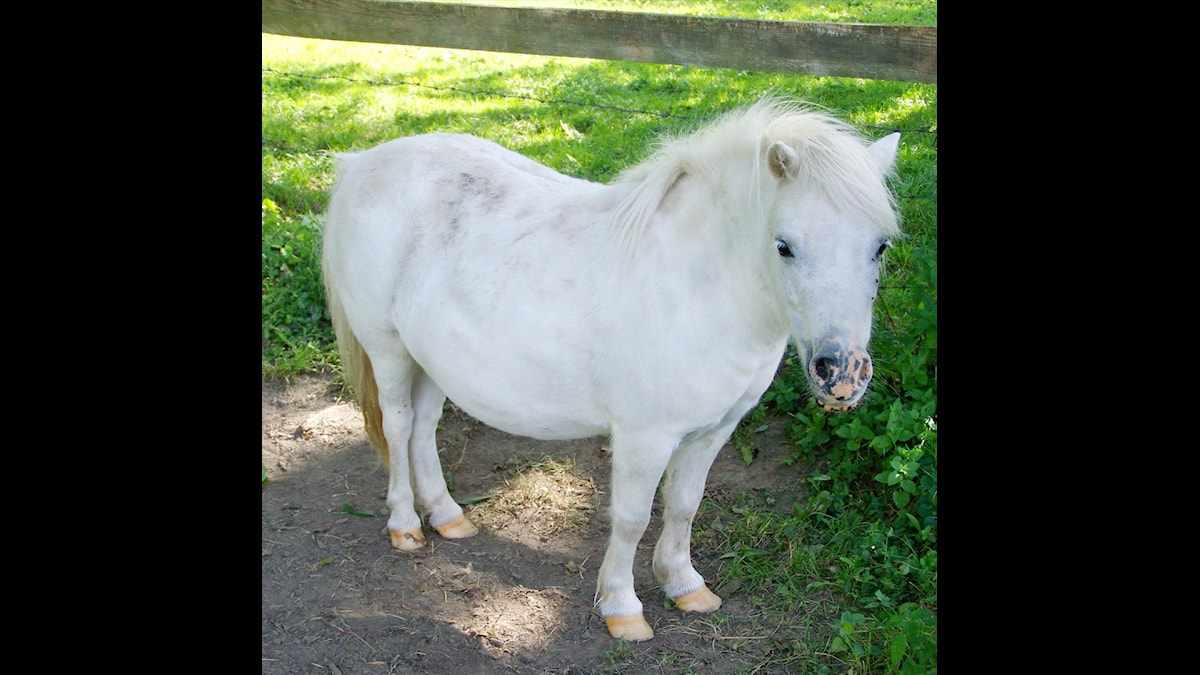 Ponnyhäst