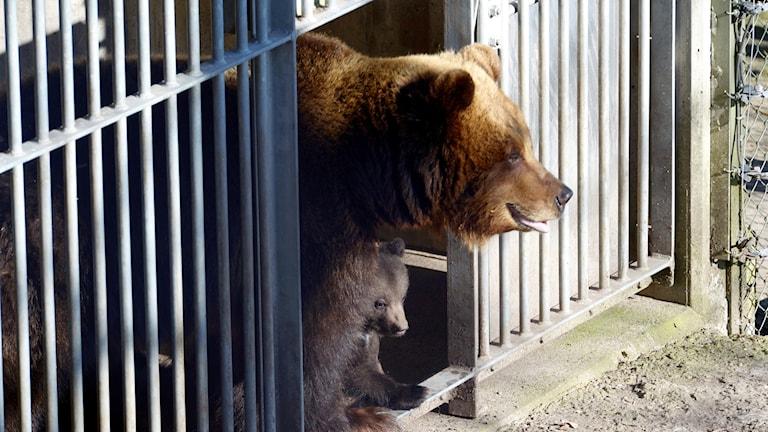 Det var en brunbjörn som dödade djurskötaren.