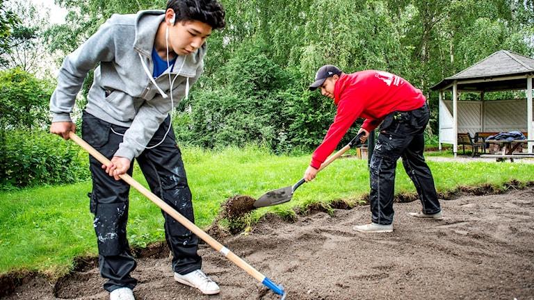Två unga killar jobbar med att kratta och gräva i en gräsmatta.