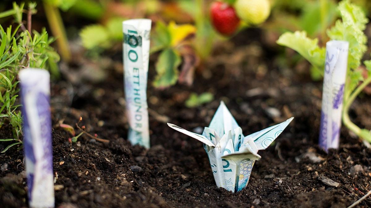 Vikta sedlar som växer upp ur marken.