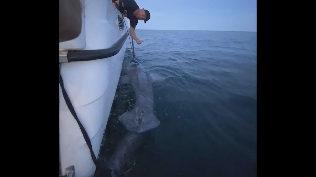 Sportfiskaren Nicklas Kolbeck fångade en rekordstor håkäring.