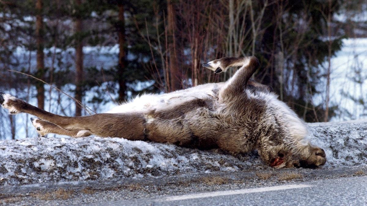 En död ren ligger vid sidan av en väg. foto: Lennart Nygren/TT
