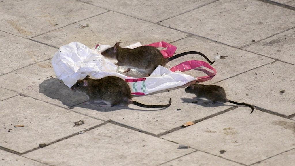Råttor letar efter något att äta på Sergels torg i Stockholm