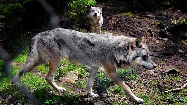 Två av vargarna i det nu avstängda hägnet på Kolmårdens djurpark dagen efter olyckan då en anställd blev dödad av varg.