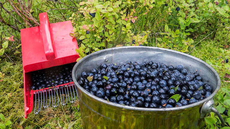 En bunke med blåbär.