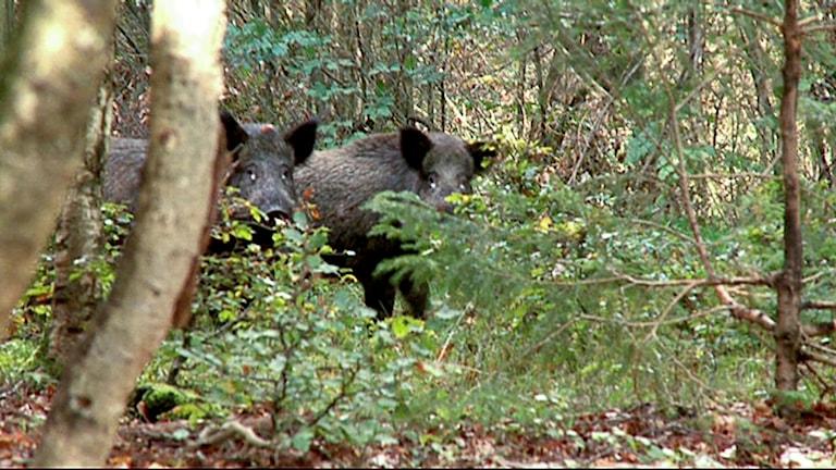 Två vildsvin i skog. Foto: ERLAND VINBERG/TT