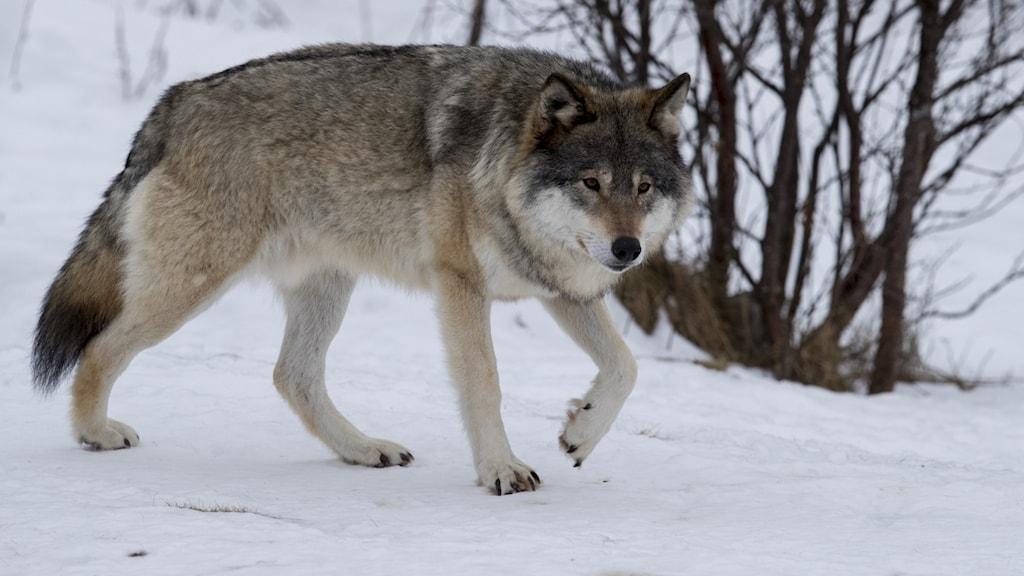 Bild på en varg som går på snötäckt mark.