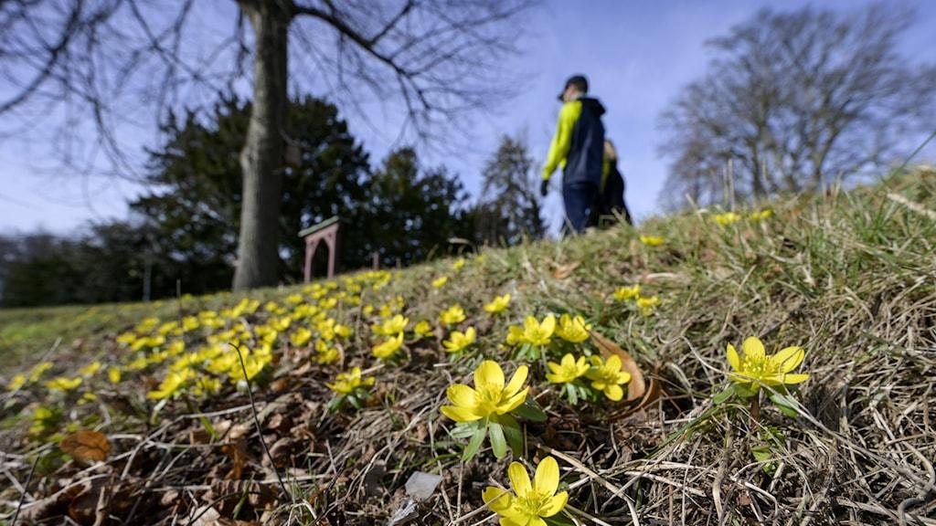 Blommorna vintergäck blommar i Malmö