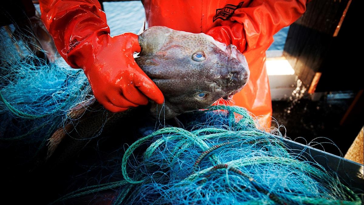 Närbild på en fiskare som håller i en torsk.