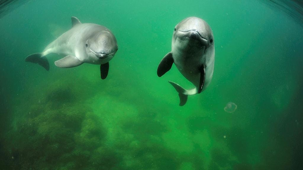 Två tumlare simmar bredvid varandra.