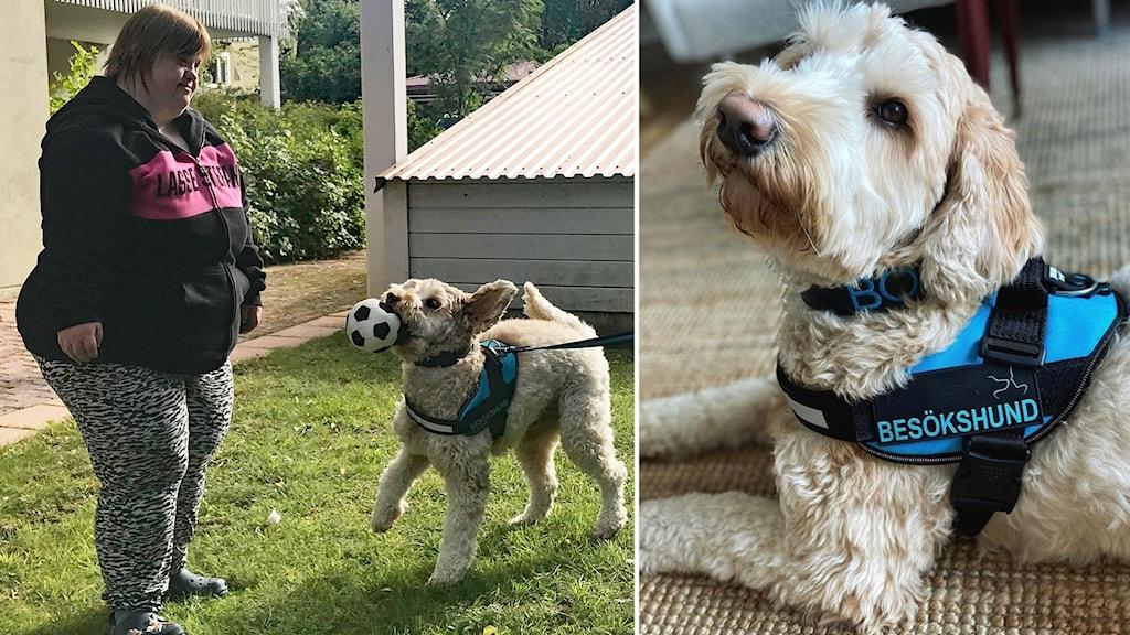 Två bilder: Kvinna och vitlockig liten hund med väst leker med boll på gräsmatta nära hus samt vitlockig liten hund med blåsvart väst ligger på golv inomhus