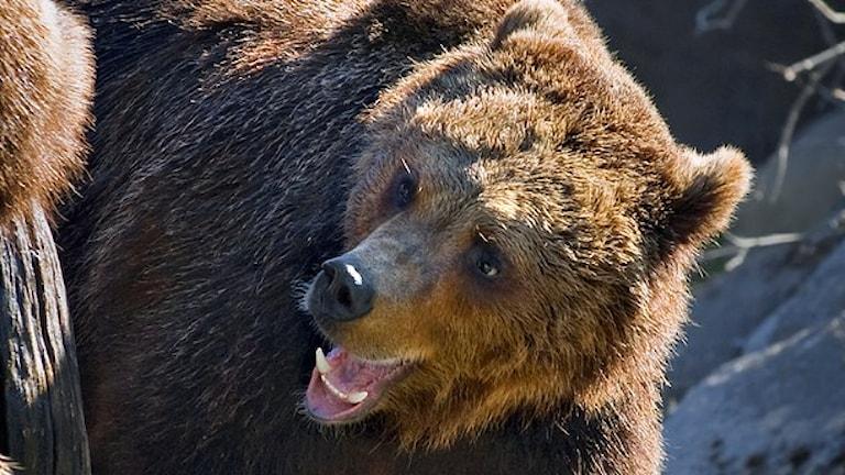 Björnen är ett stort och kraftigt djur.