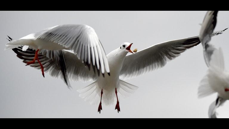 Fiskmåsar som flyger.
