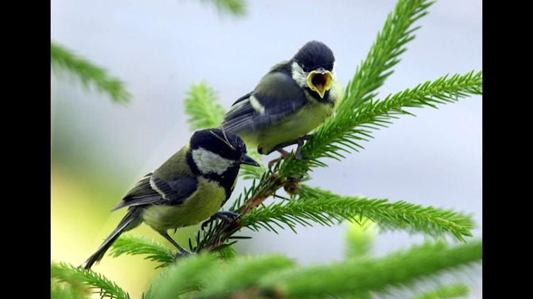 Talgoxar, vuxen fågel med unge. Ungfåglarna är en mäktig evolutionär kraft i naturen. STOCKHOLM 20030603 Talgoxe unge och mamma. Foto TT