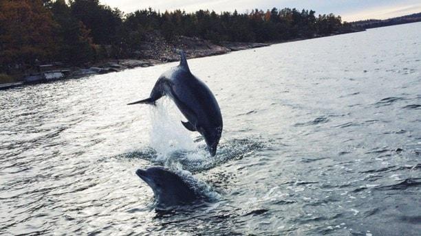 Delfinerna simmar och hoppar.