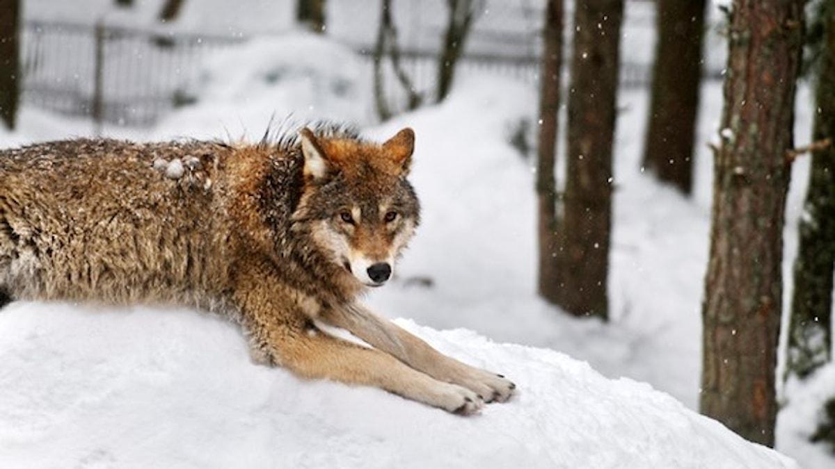 På fotot ligger en varg och vilar sig i snön.