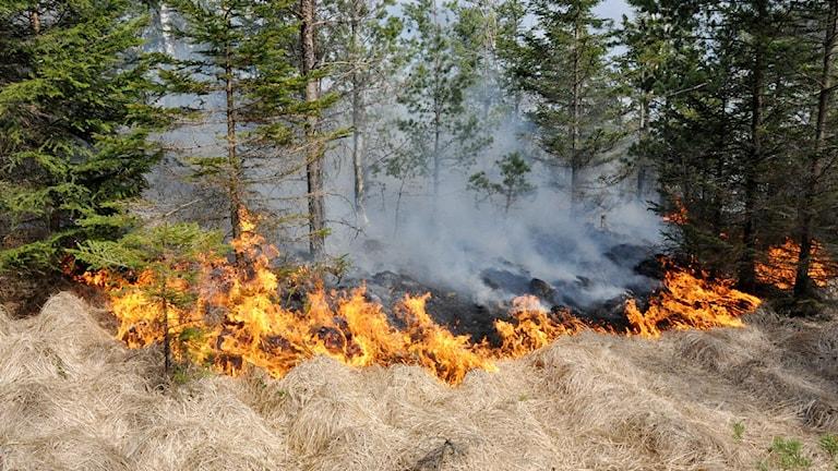 Elden sprider sig i torrt gräs under granarna.