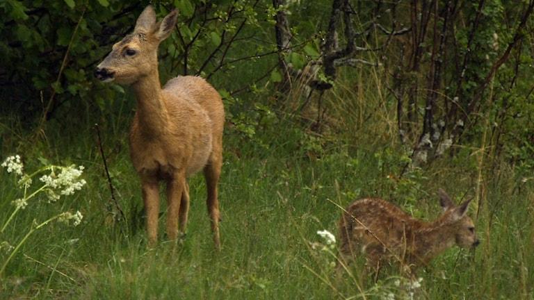 Det vuxna djuret har en ljusbrun päls. Ungen är mer fläckig och därför är den svårare att upptäcka ute i naturen.