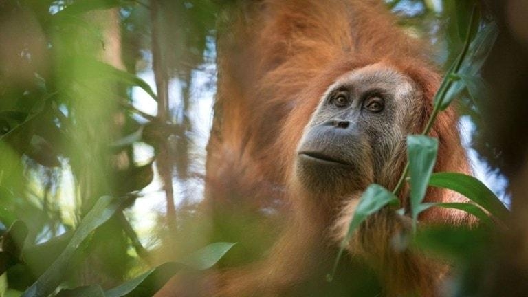 På fotot syns en apa som är ganska lik andra arter av orangutanger. Pälsen är lång och rödbrun, men de har ingen päls i ansiktet.