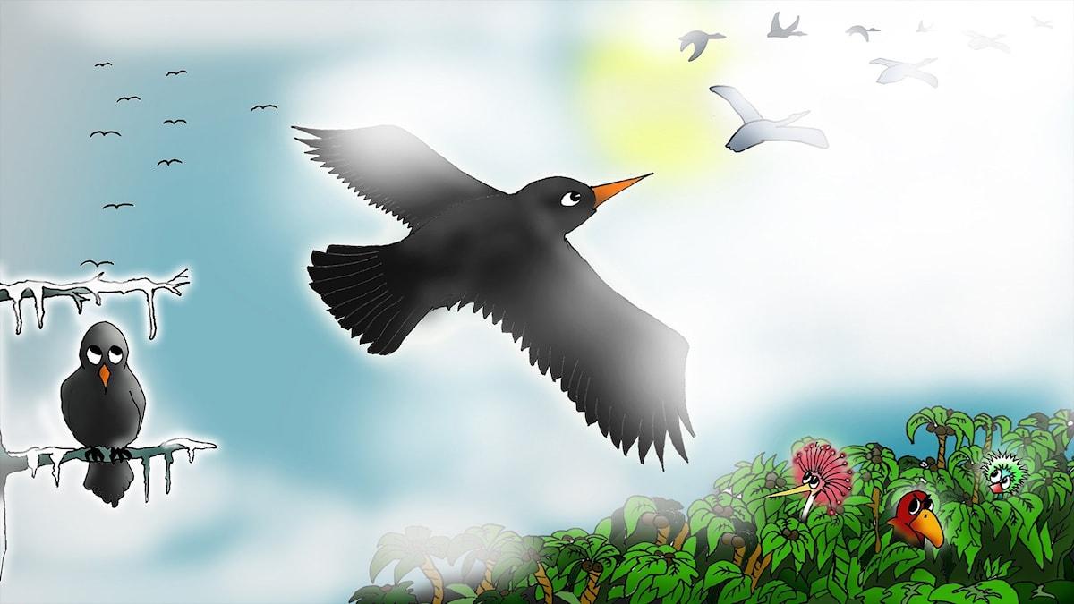 Svarta lilla koltrast del 1. Illustration: Homero Alvarez.