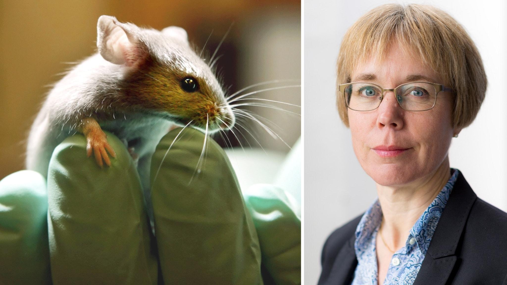 Jag forskar om cancer med hjälp av försöksdjur