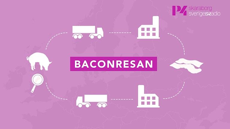 En illustration med karta i bakgrunden visar gris och pilar i ett kretslopp med lastbilar, fabriker och tillbaka till stekpannan.