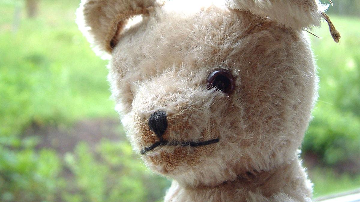 Nallebjörn i närbild. Foto SVT Bild.